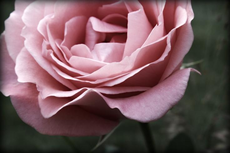 IMG_rose